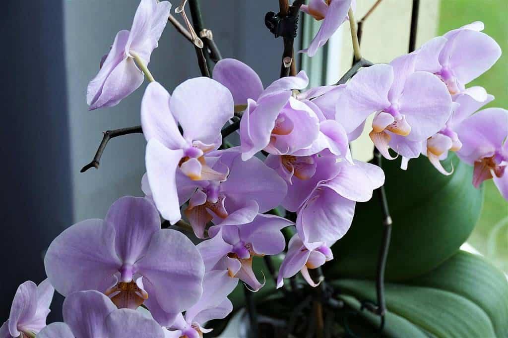 """Amata e venerata fra le """"regine"""" dei fiori, le orchidee rappresentano lepiante da fiorepiù diffuse ed apprezzate. Come coltivarle e curarle"""