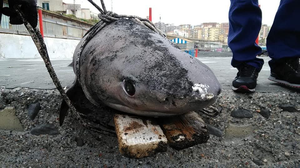 Un esemplare appartenente all'ordine degli squaliformi, lungo 2 metri e del peso di 100 kg circa, è stato ritrovato in località Scala.